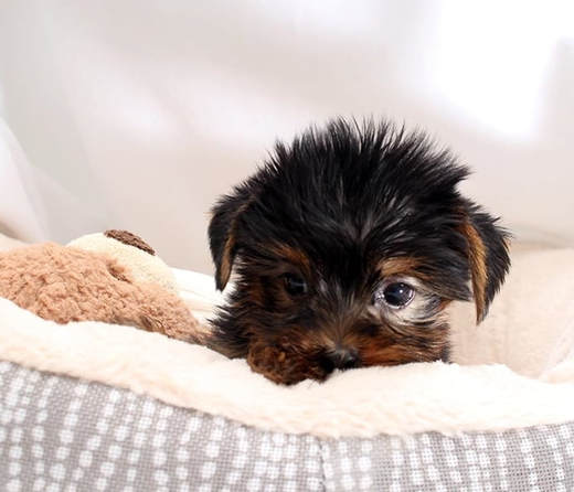 Natty Teacup Yorkie Puppies Paradise Home